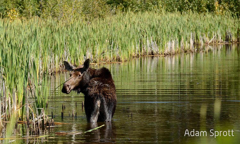 Moose in a wetland