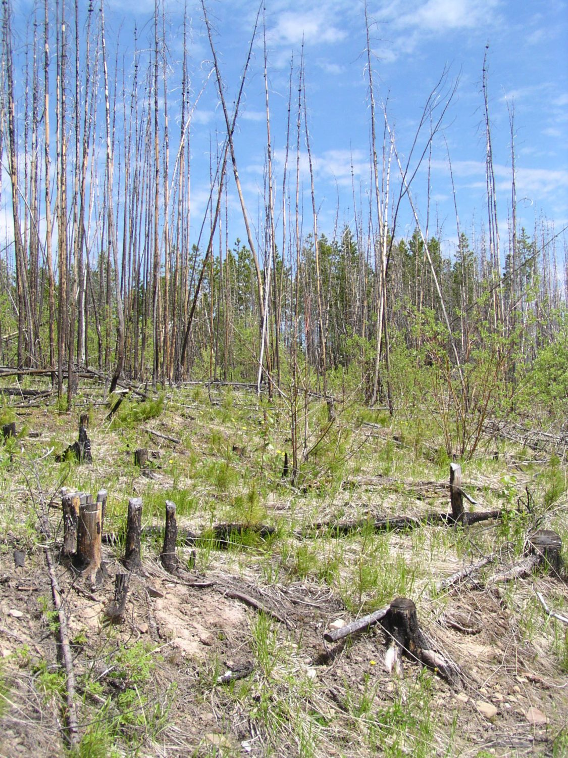 A burned stand with cut stumps in the foreground