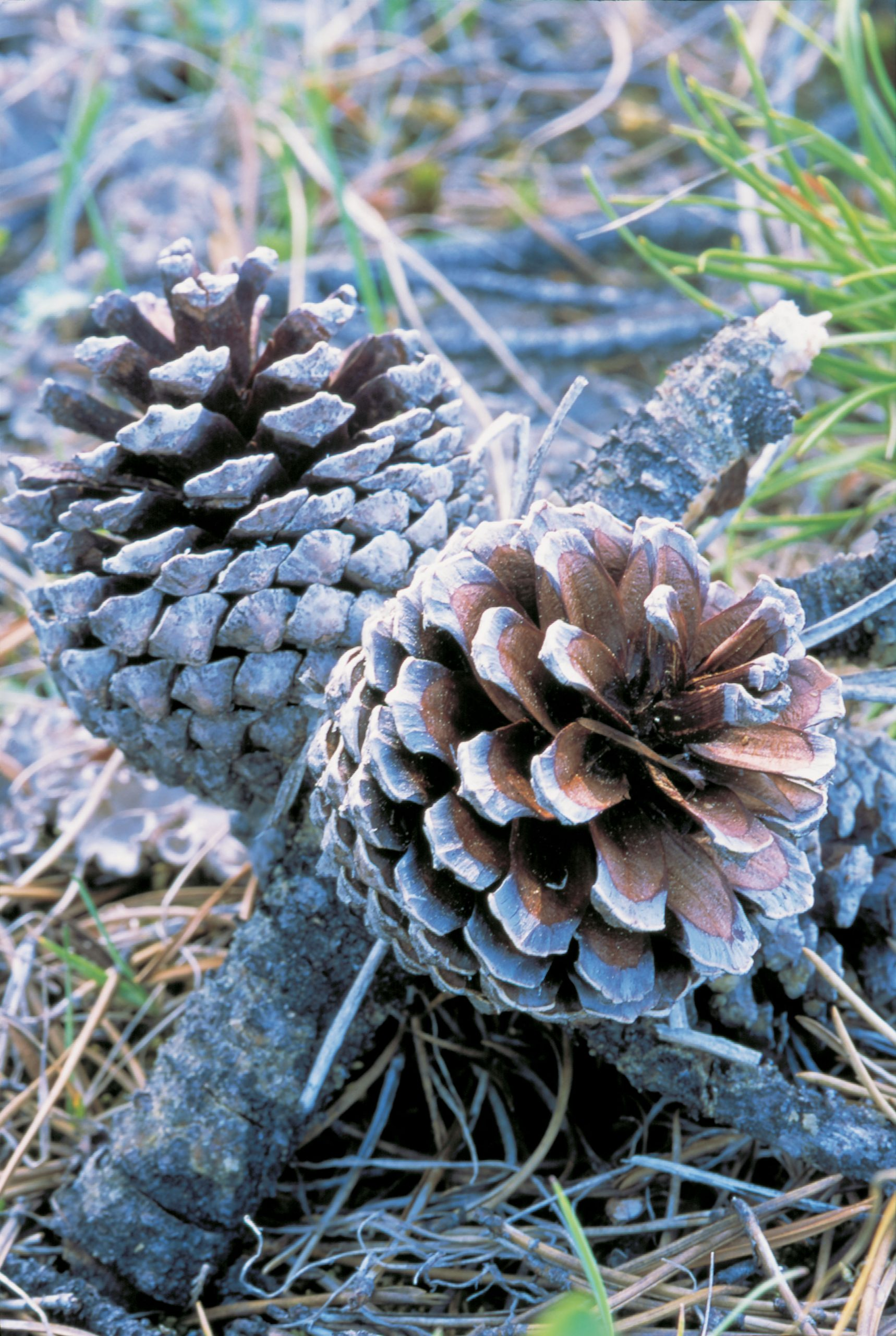 Close up of pine cones on the ground