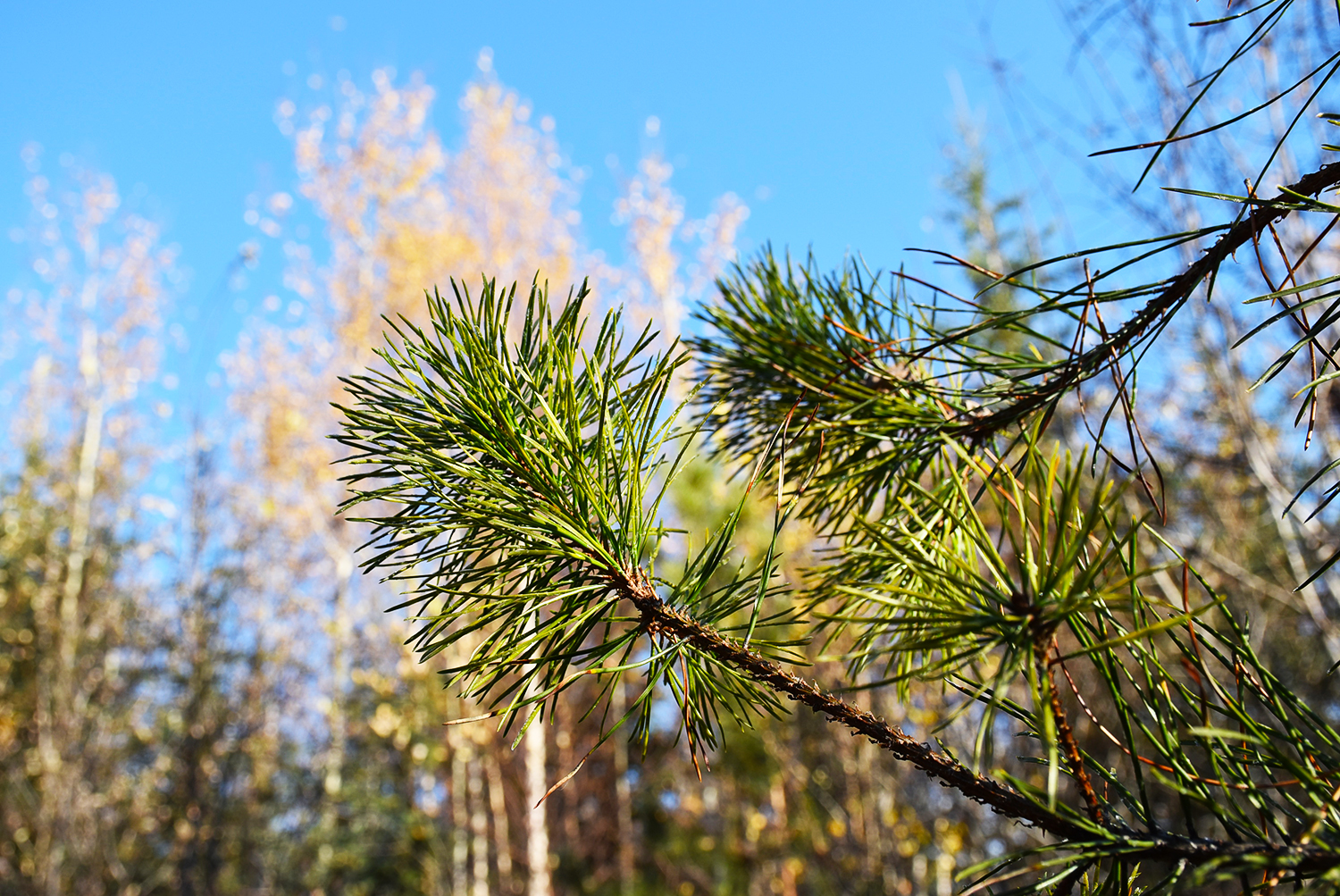 A pine branch with yellow aspens in background