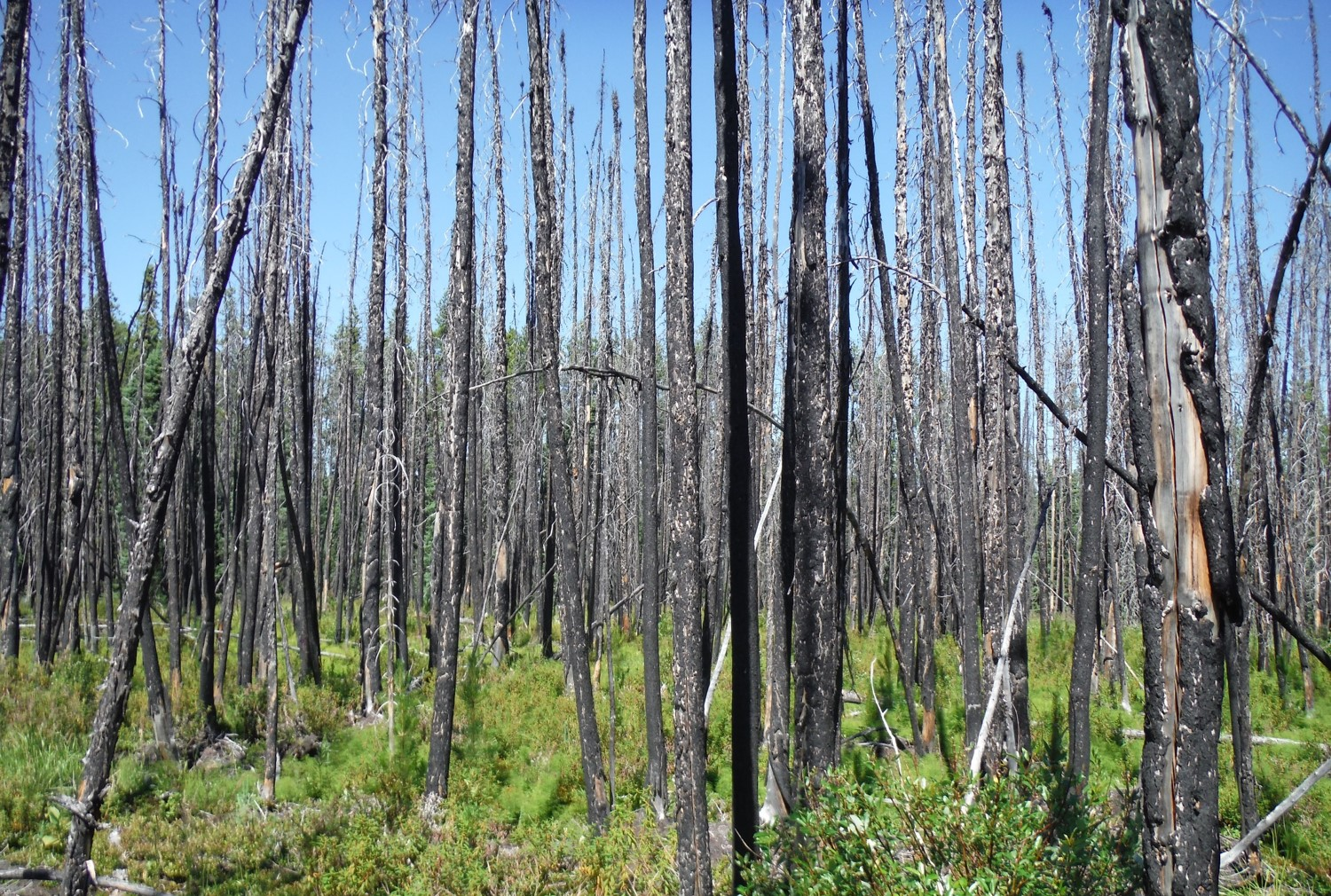 A regrowing burned pine forest