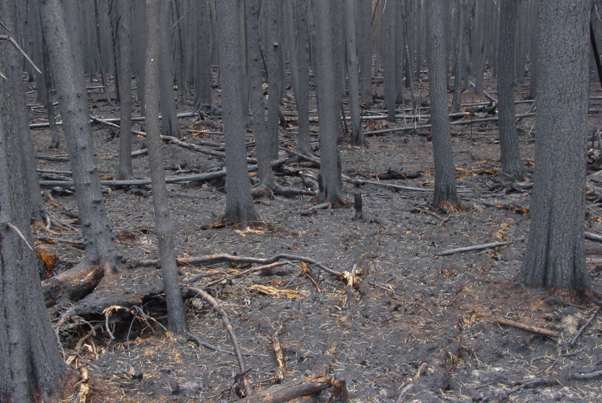 A burned forest