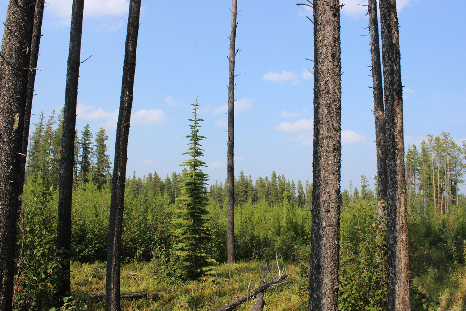 A regenerating pine forest