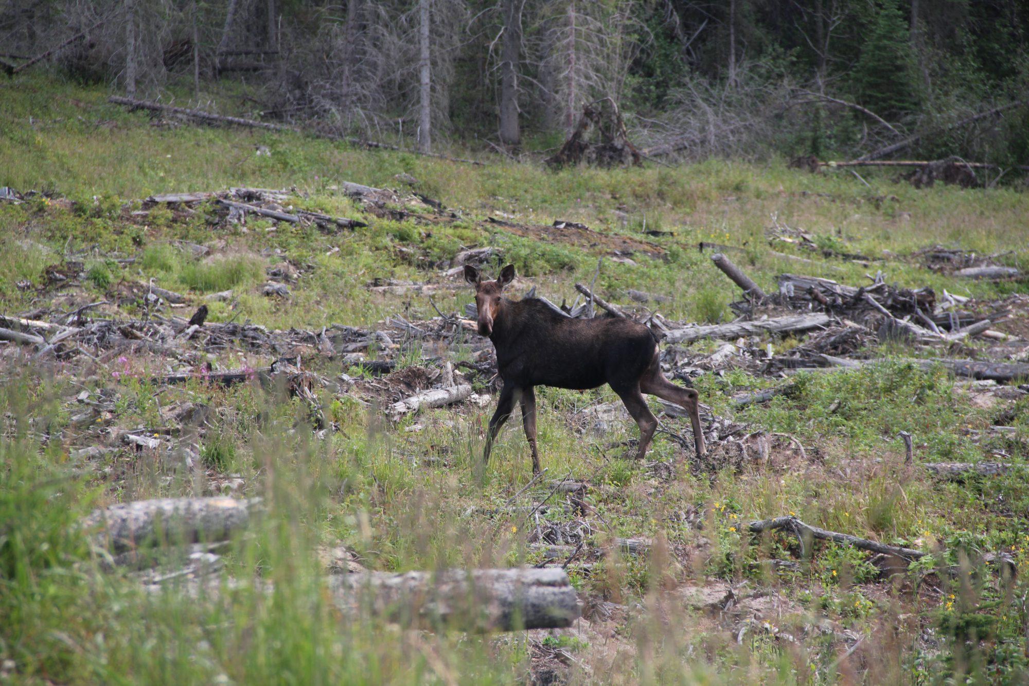 A female moose in a harvest block