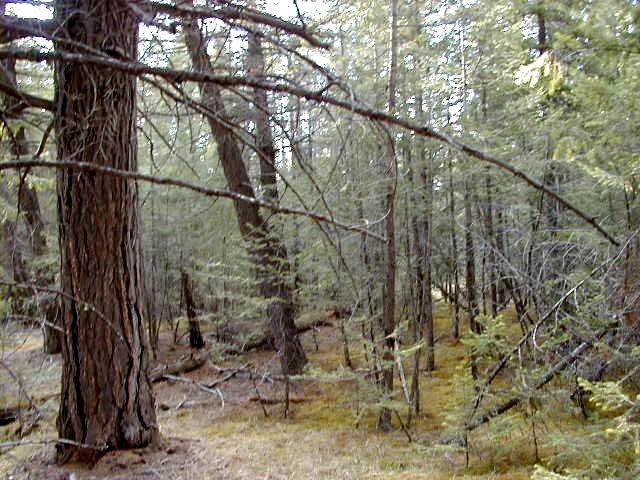 A Douglas Fir forest