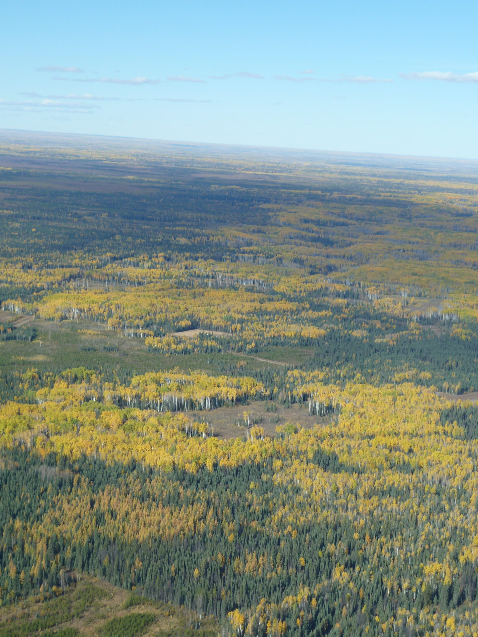 Aerial view of an aspen forest in autumn