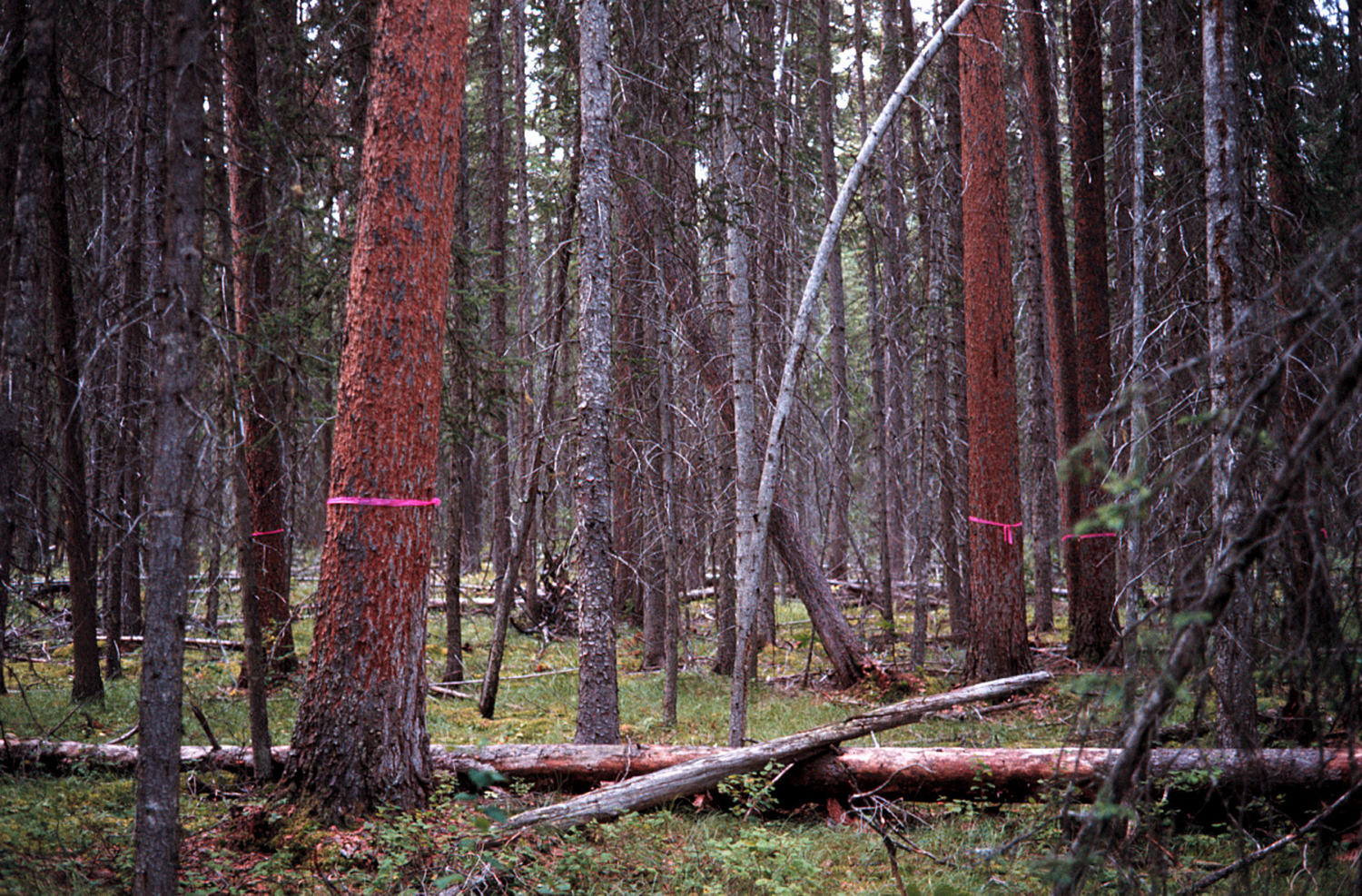 Marked pine trees in a mature forest stand