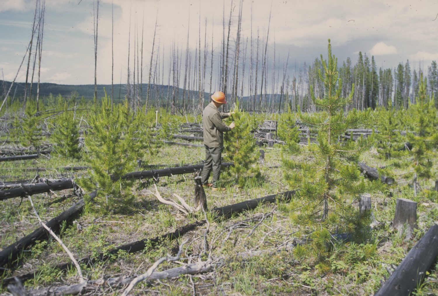 A forester measuring regrowth in a cutblock