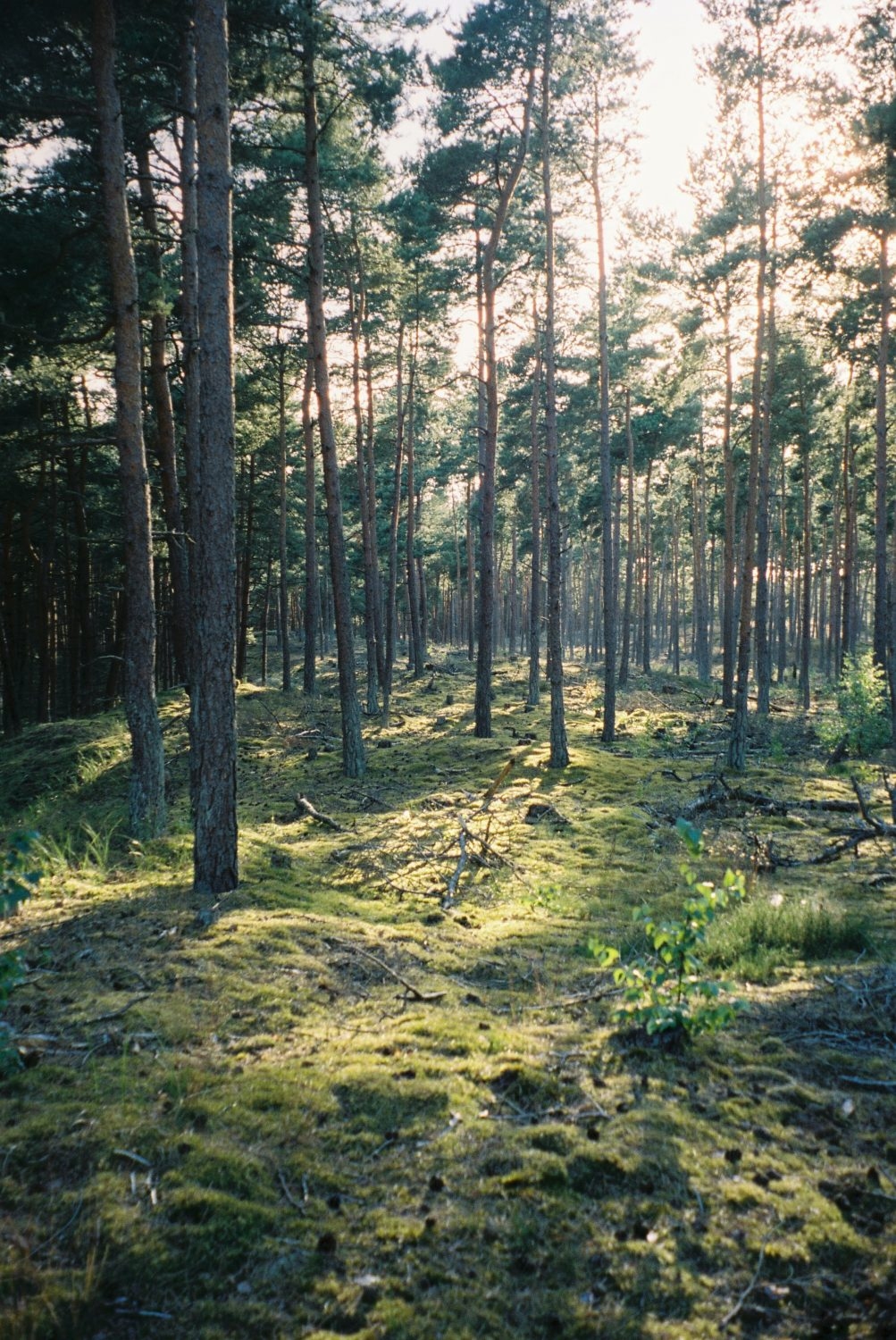 A pine forest stand