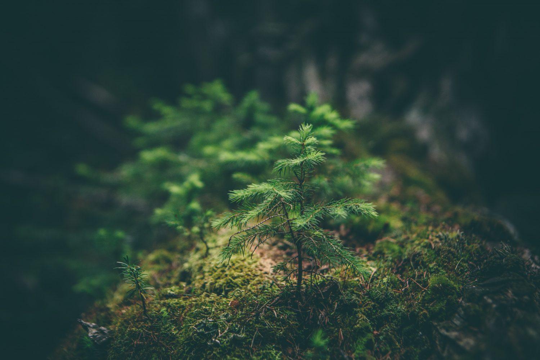 A fir seedling