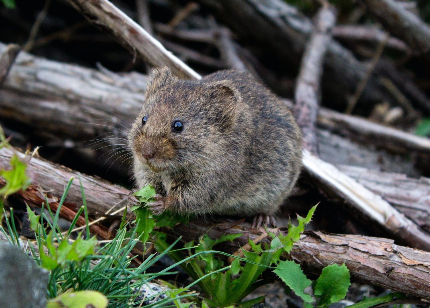 A forest vole